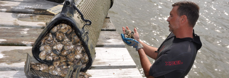 oyster aquaculture in the gulf of mexico masglp
